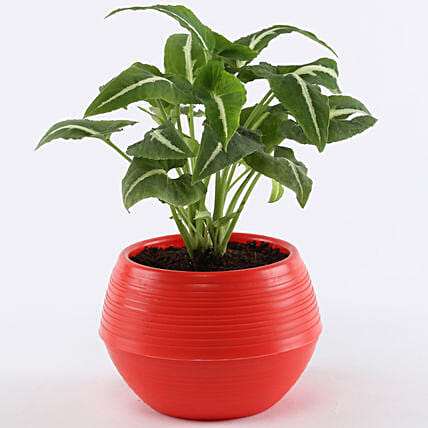 Syngonium Wendlandii In Red Pot: