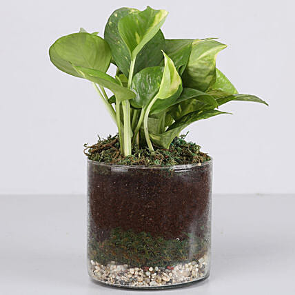 "Scindapsus Gold Plant 4"" Glass Terrarium: Terrariums Plants"