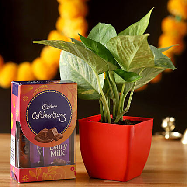 Money Plant & Cadbury Celebrations Combo: