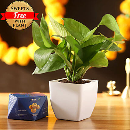 Money Plant With Sweet Peda: Deepavali Gifts
