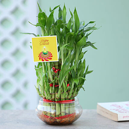 3 Lucky Layer Bamboo For Diwali: Send Plants to Mumbai