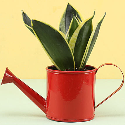 MILT Sansevieria In Watering Can Pot: Cactus and Succulents Plants