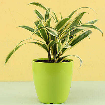 Song Of India Plant In Green Pot: Air Purifying Plants
