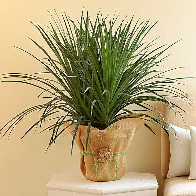 Beautiful Dracaena Draco Plant: