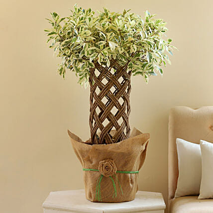 Ficus Crache Starlight Bonsai Plant: Brothers Day Gifts