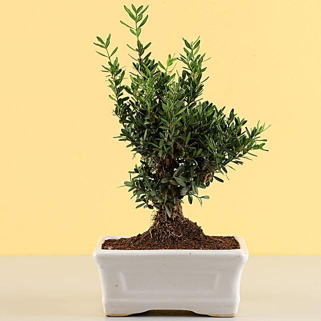 Lively Boxwood Bonsai Plant: Bonsai Plants