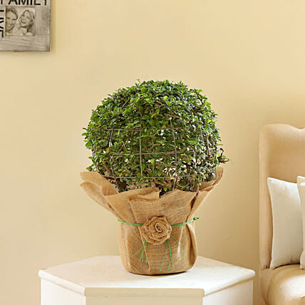 Ball Shaped Carmona Bonsai Plant: Gifts for Brothers Day