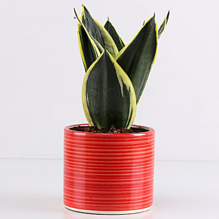 MILT Sansevieria In Red Pipe Pot: