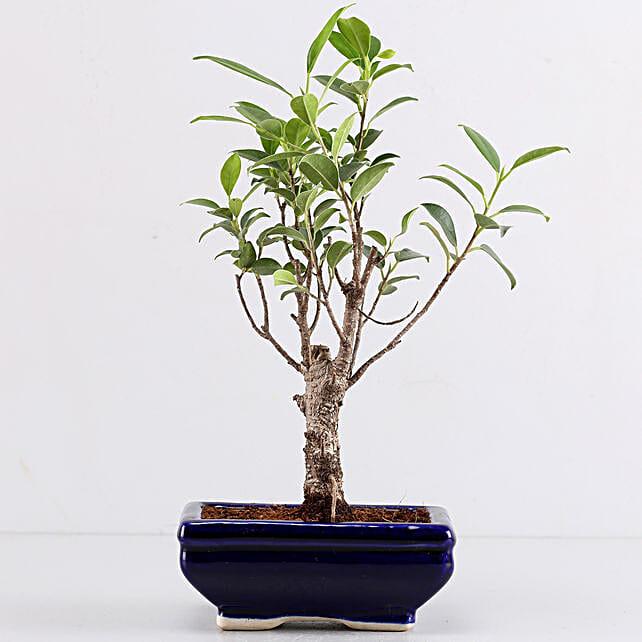 Ficus I Shape Bonsai In Blue Tray Pot: Bonsai Plants