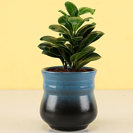 Ficus Compacta Plant in Teal Blue Ombre Novelty Pot: Ornamental Plant Gifts