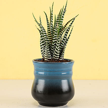 Haworthia Zebra Plant in Teal Blue Ombre Novelty Pot: Rare Plant Gifts