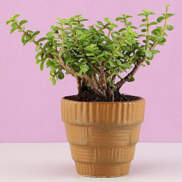 Jade Plant in Haiti Ceramic Mocha Brown Pot: Plant New Arrivals