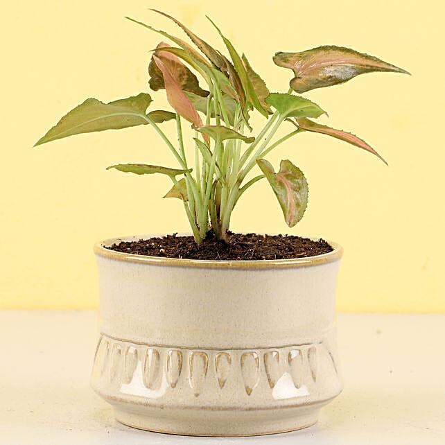 Pink Syngonium Plant in Rustic Beige Merin Pot: Send Spiritual Gifts