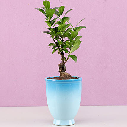Ficus Bonsai Plant in Blue Ombre Venetian Vase: Bonsai Plants