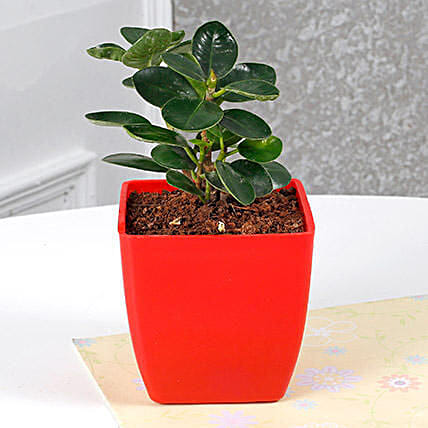 Gorgeous Ficus Compacta Plant: Office Desk Plants