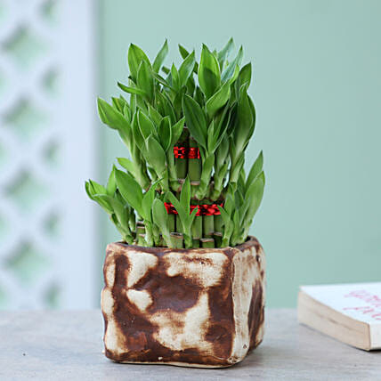 3 Layer Bamboo Plant In CB Stone Pot: Lucky Bamboo for Friendship Day