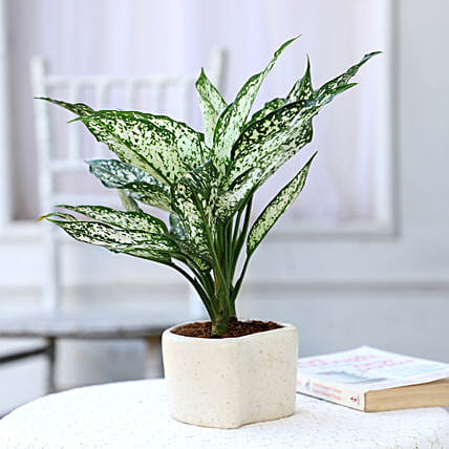 Aglaonema Plant In Heart Shaped Pot: Ornamental Plants
