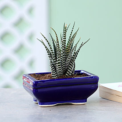 Haworthia Plant In Blue Tray Pot: Cactus and Succulents Plants