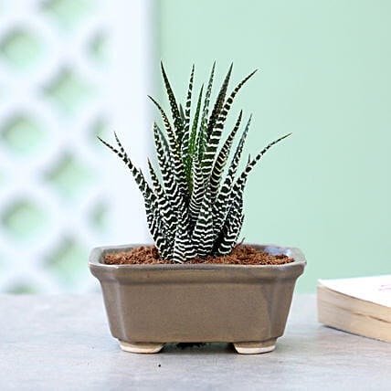 Haworthia Plant In Brown Tray Pot: Rare Plants