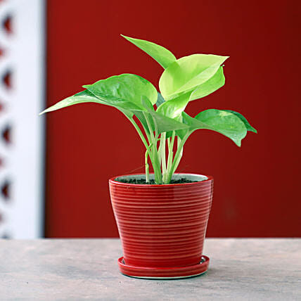 Lively Money Plant In Red Plate Pot: Ornamental Plant Gifts
