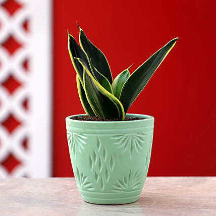 MILT Sansevieria Plant In Green Ceramic Pot: Air Purifying Plants