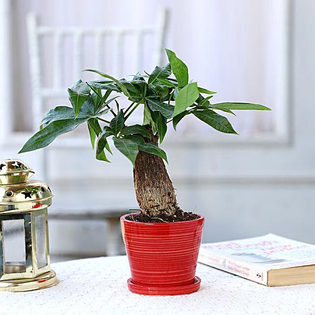 Pachira Bonsai In Ceramic Plate Pot: Ornamental Plant Gifts