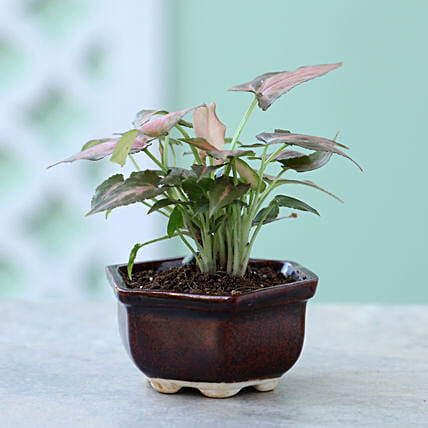 Pink Syngonium Plant In Brown Tray Pot: Ornamental Plant Gifts