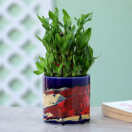 3 Layer Bamboo Plant In Blue Pink Pot: Lucky Bamboo for Friendship Day