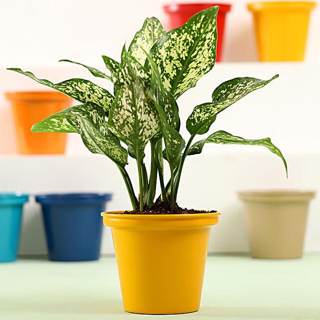 Aglaonema In Yellow Metal Pot: Send Good Luck Plants