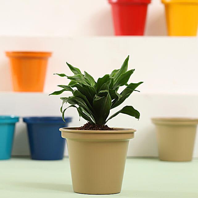 Dracaena Plant In Grey Metal Pot: Send Shrubs