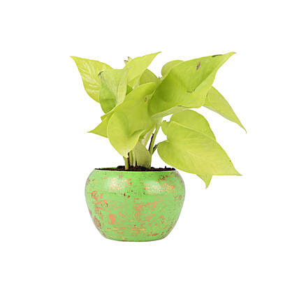 Golden Money Plant In Green Metal Pot: Ornamental Plant Gifts