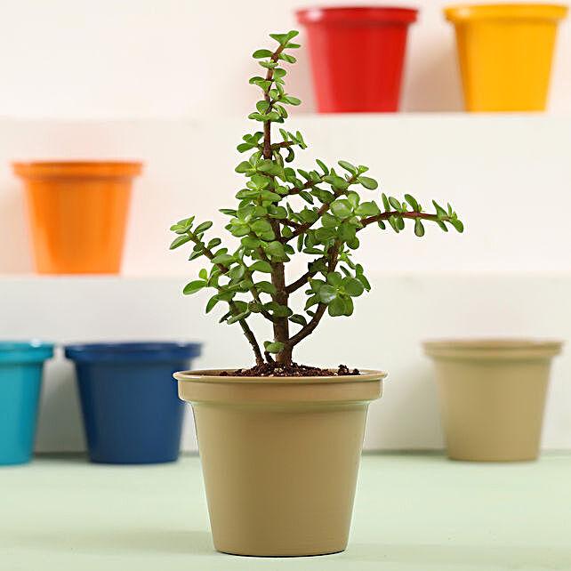 Jade Plant In Grey Metal Pot: Good Luck Plants