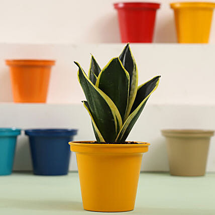 MILT Sansevieria In Yellow Metal Pot: