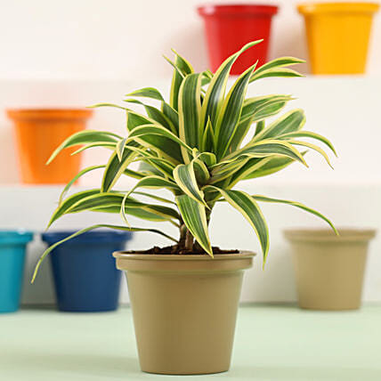 Song Of India Plant In Grey Metal Pot: