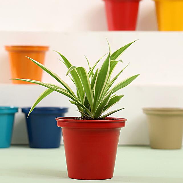Spider Plant In Red Metal Pot: Gudi Padwa