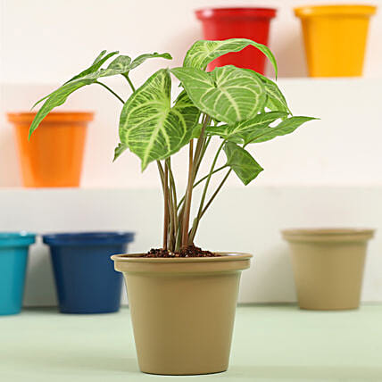 Syngonium Plant In Grey Metal Pot: Ornamental Plant Gifts