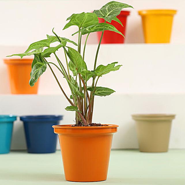 Syngonium Plant In Orange Metal Pot: Ornamental Plants