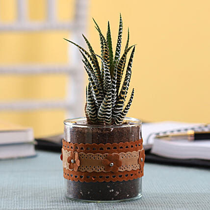 Howarthia Zebra Plant in Cylinder Glass Pot with Flower Lace: Rare Plants