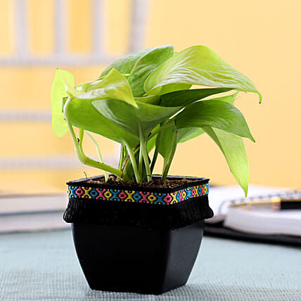 Neon Money Plant in Black Square Pot with Boho Lace: Money Tree
