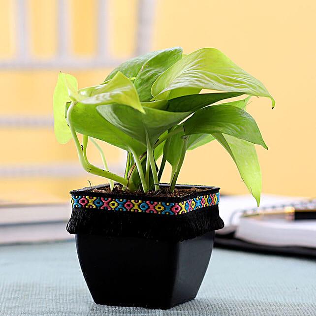 Neon Money Plant in Black Square Pot with Boho Lace: Money Plant