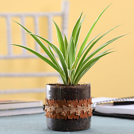 Spider Plant in Cylinder Glass Pot with Flower Lace: Terrariums Plants