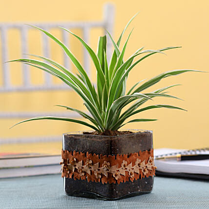 Spider Plant in Square Glass Pot with Flower Lace: Terrariums Plants