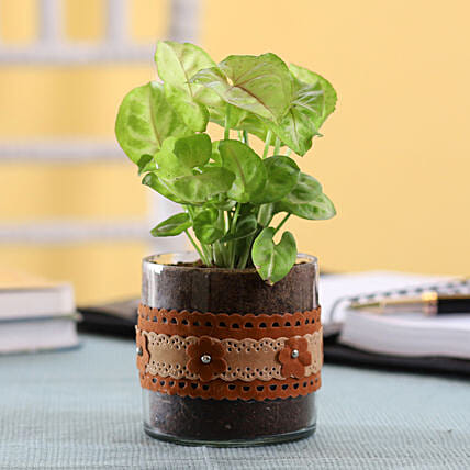 Syngonium Plant in Cylinder Glass Pot with Flower Lace: Terrariums Plants