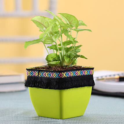 Syngonium Plant in Green Square Pot with Boho Lace: Air Purifying Plants