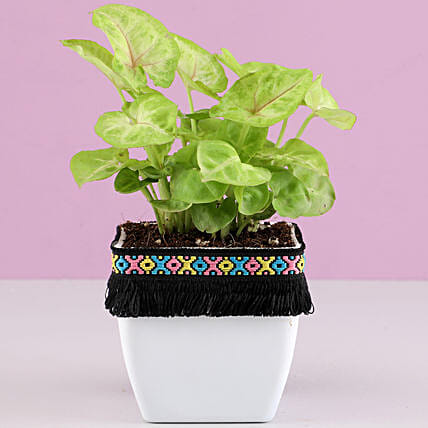 Syngonium Plant in White Square Pot with Boho Lace: Indoor Plants