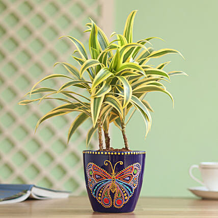 Song of India Plant in Hand Painted Planter: Teddy Day Gifts