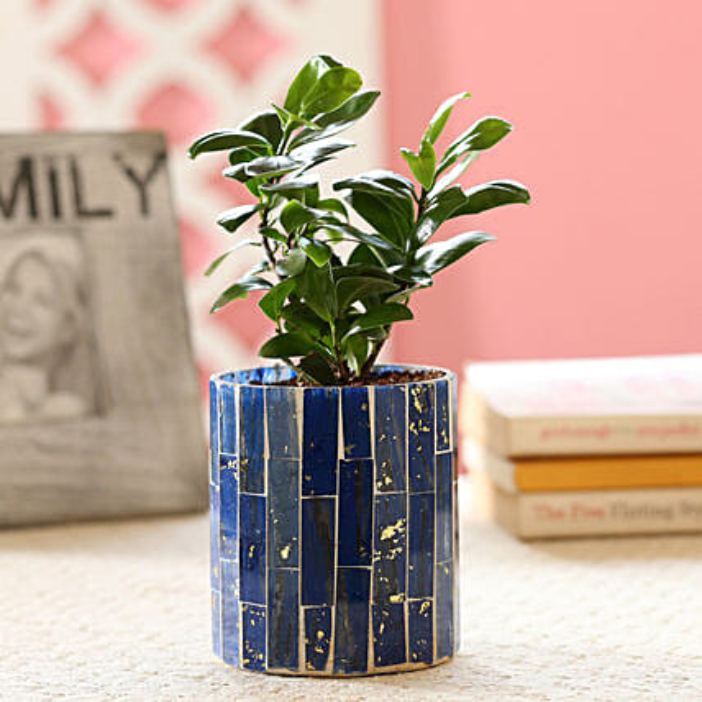 Ficus Compacta Plant In Blue Mosaic Art Glass Pot: Ornamental Plants
