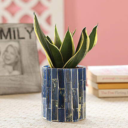 Sansevieria In Blue Mosaic Art Pot: Ornamental Plants