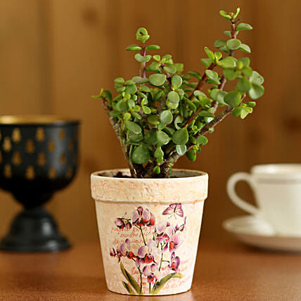Jade Plant In Pink Ceramic Pot: Pots and Planters