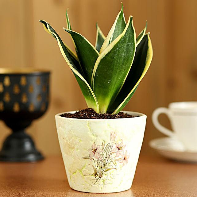MILT Sansevieria In White Ceramic Pot: Gift Ideas
